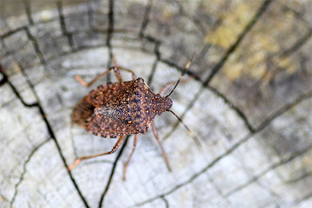 stink bug control frederick md